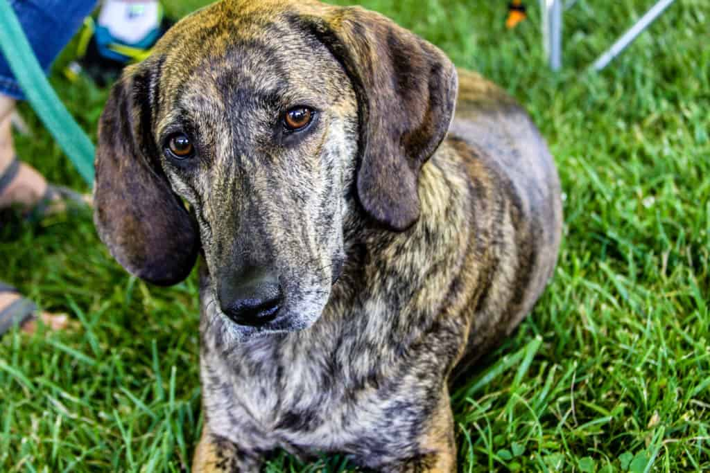 The History Of The Plott Hound The Official Nc State Dog