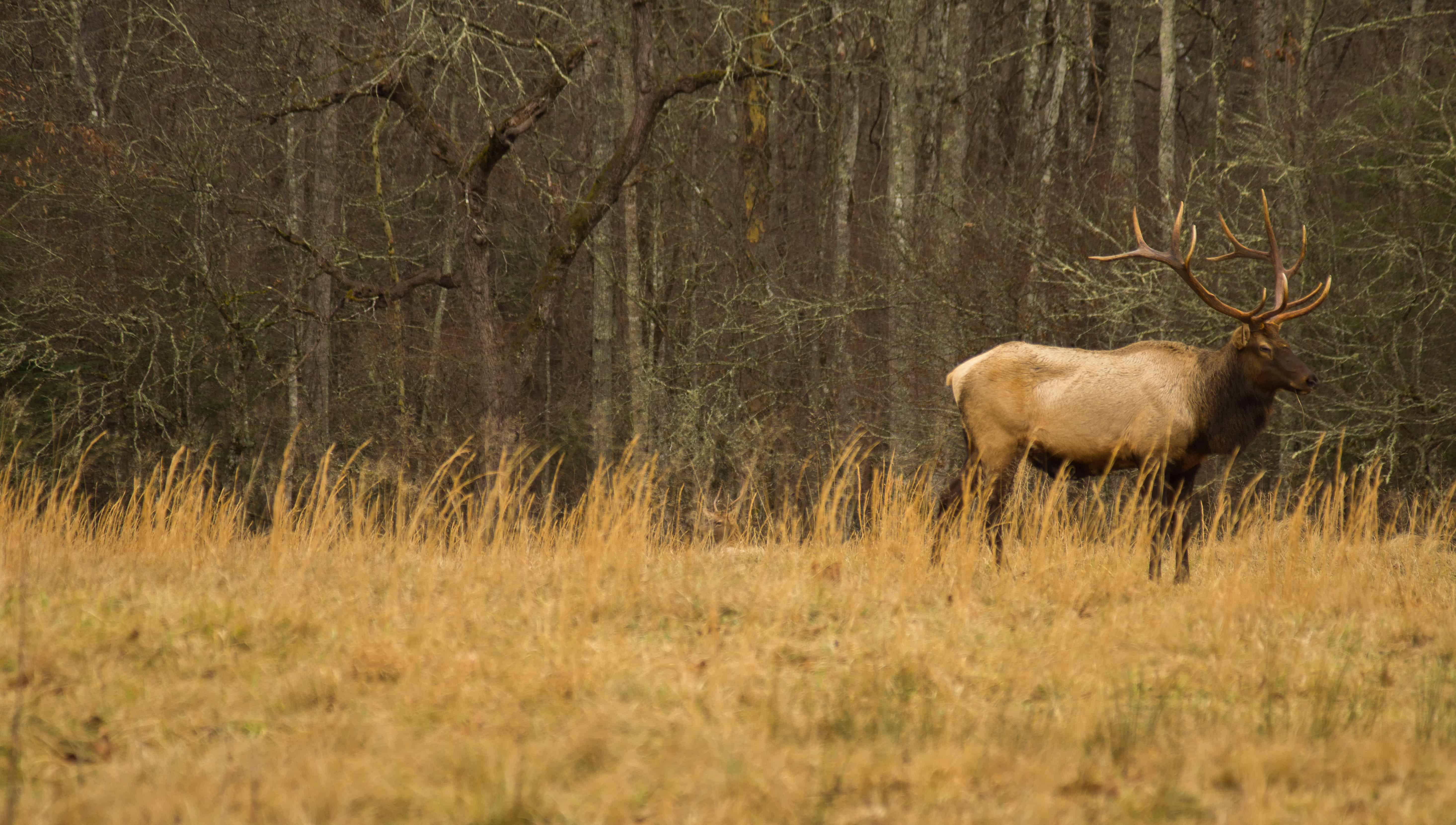 Elk 2 Yocom