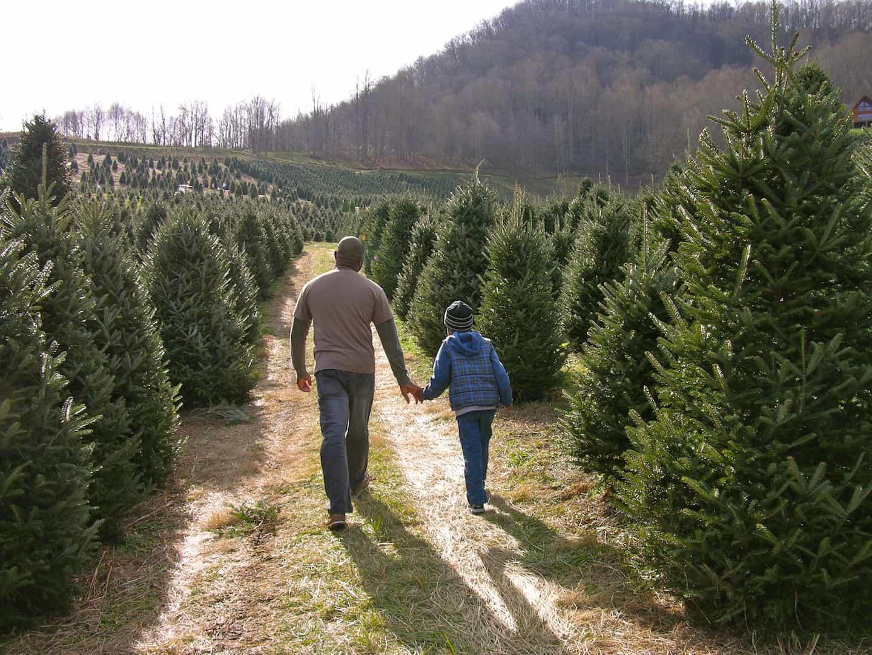 Christmas Tree Farm Asheville Nc.Choose N Cut Christmas Trees Holiday Traditions Nc