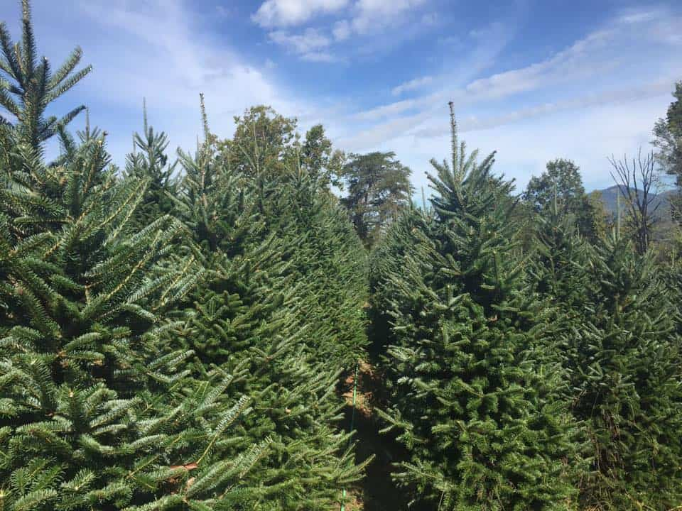 Nesbitt Christmas Tree Farm