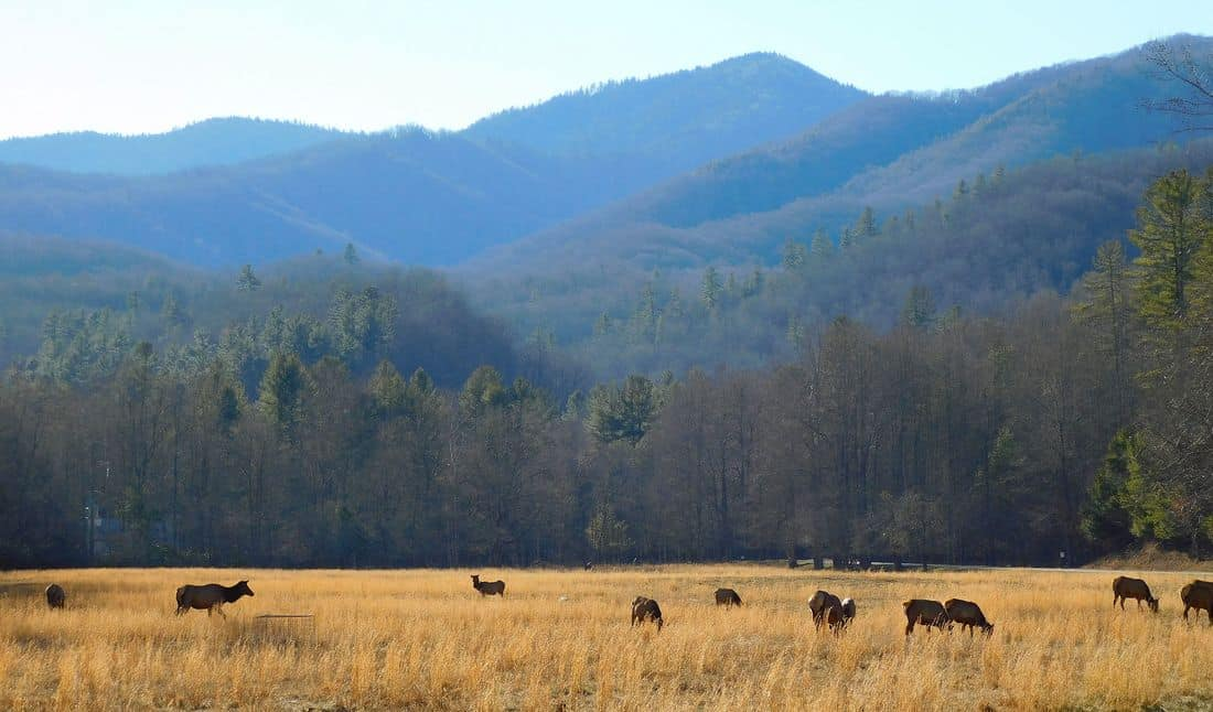 Feb Elk In Meadow2 Orig Visit Nc Smokies
