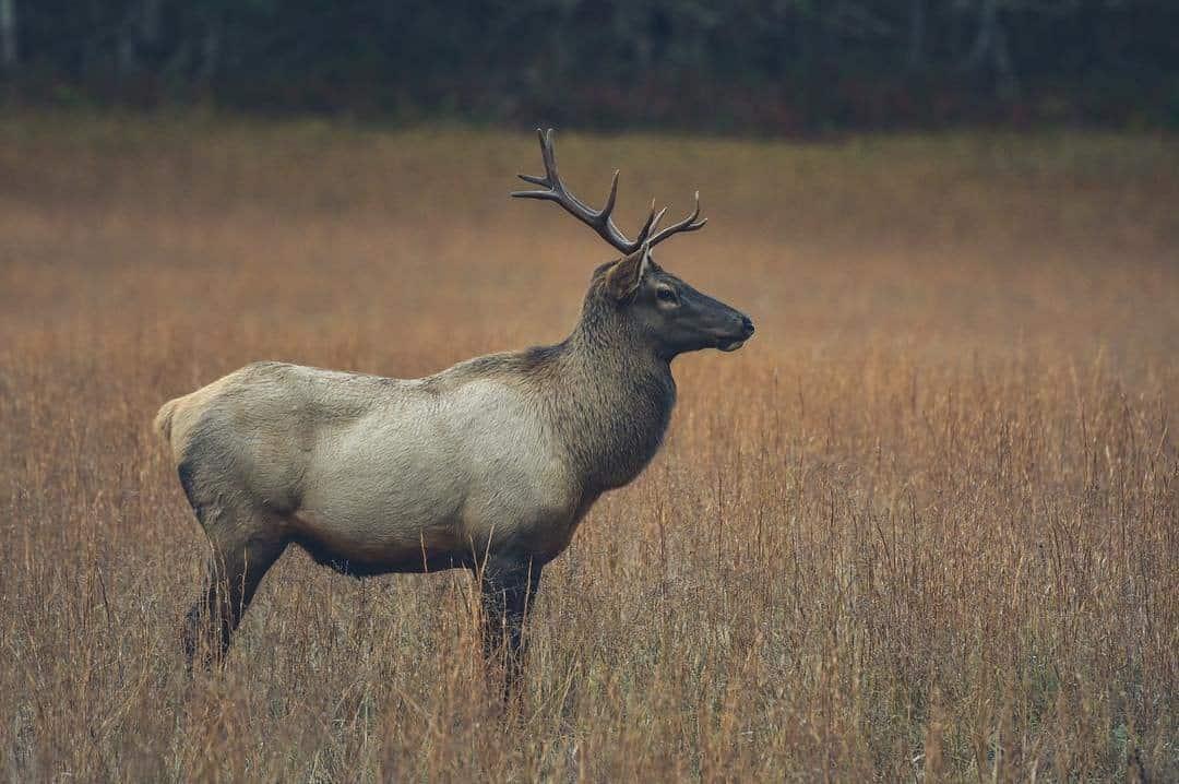 Elk in Maggie Valley, NC