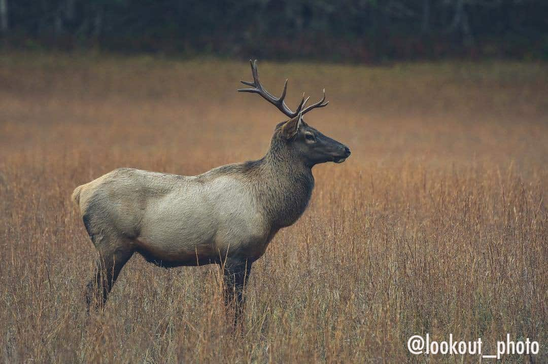 Bull Elk in Haywood County