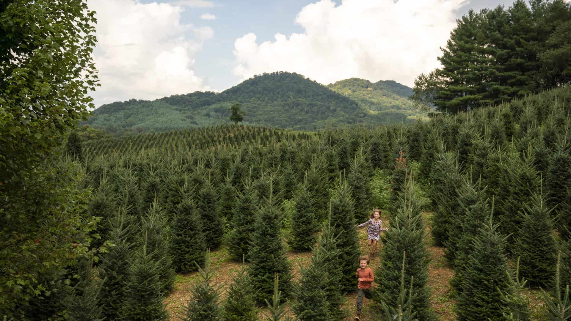 Children running through rows of Fraser firs at Boyd Mountain Tree Farms