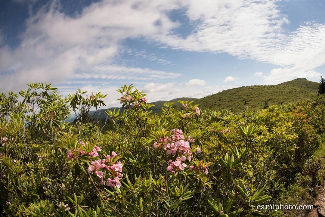 mountain laurel flower
