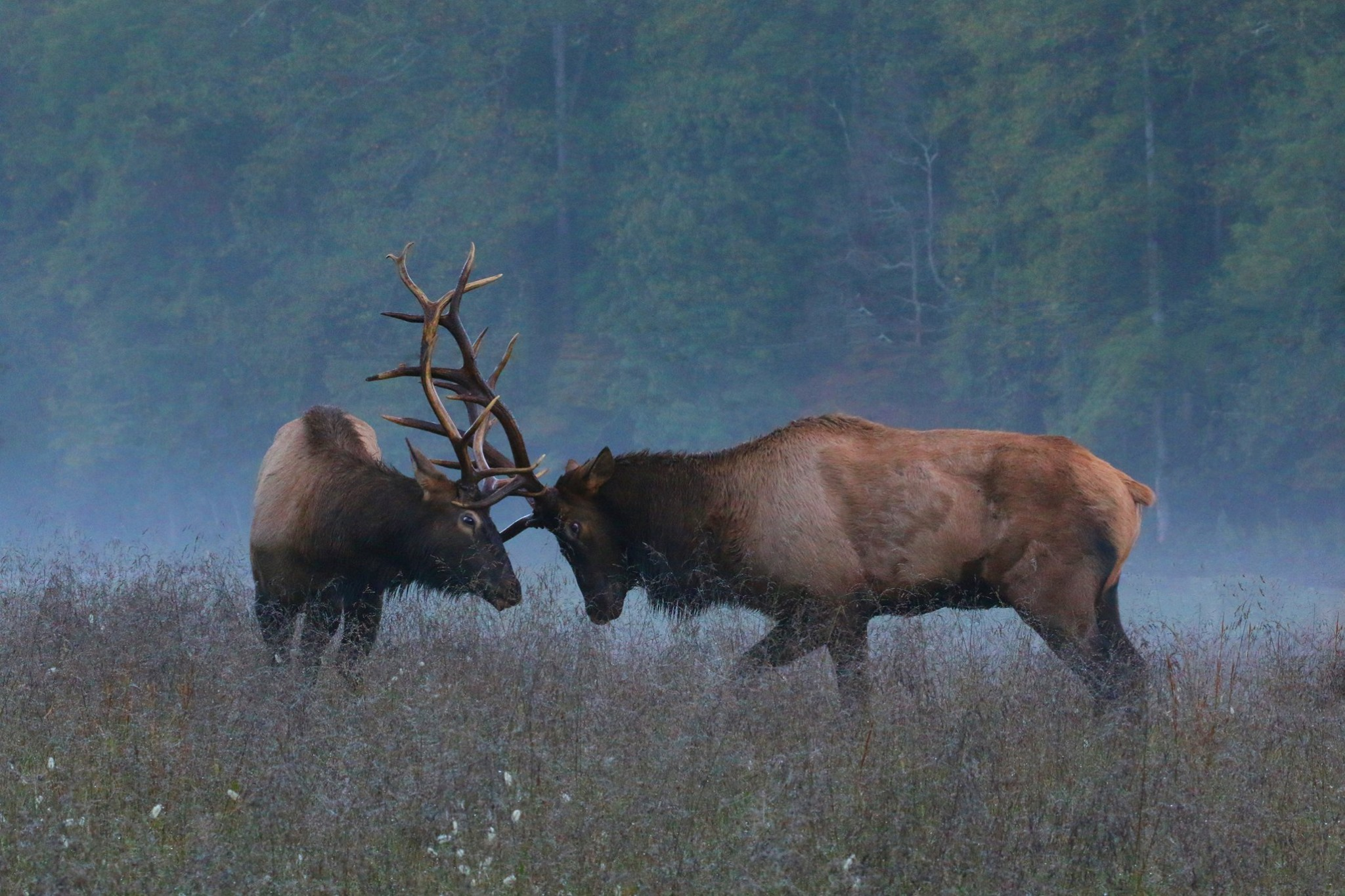 Two bull elks headbutting in the morning fog at Cataloochee Valley | Photo by Adrienne Rainy
