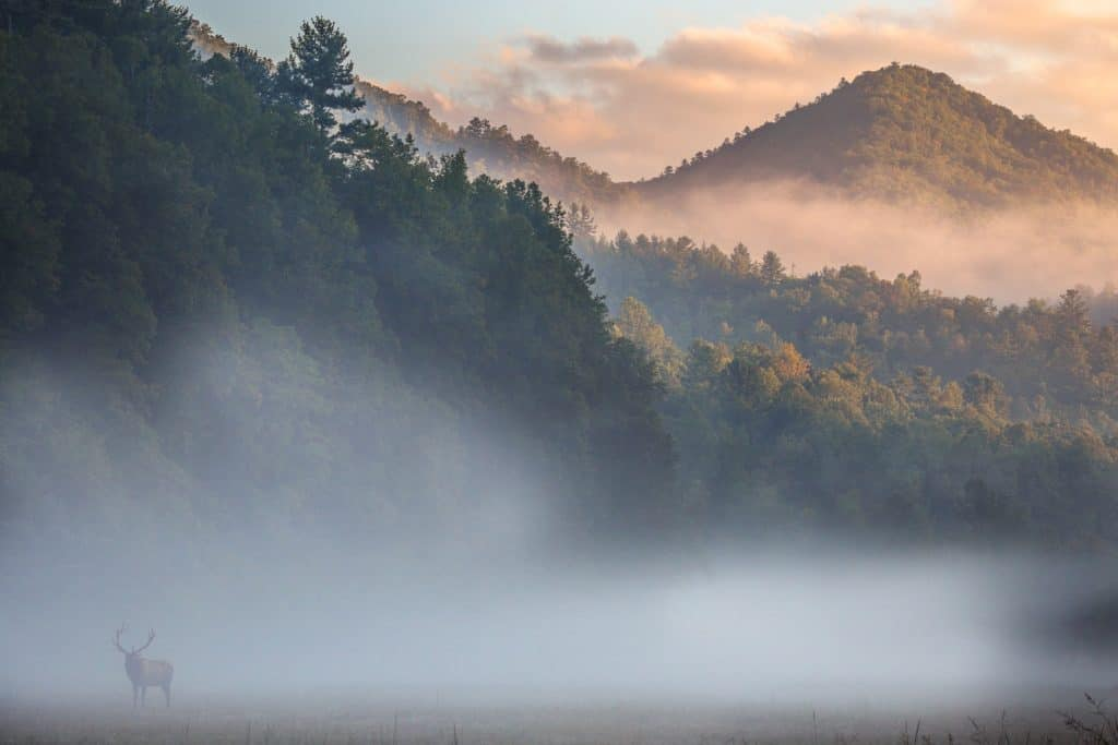 A young bull elk hiddin in the fog of Cataloochee Valley   Photo by Kalley Cook